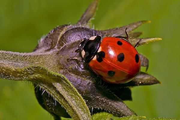 ladybird by robert61