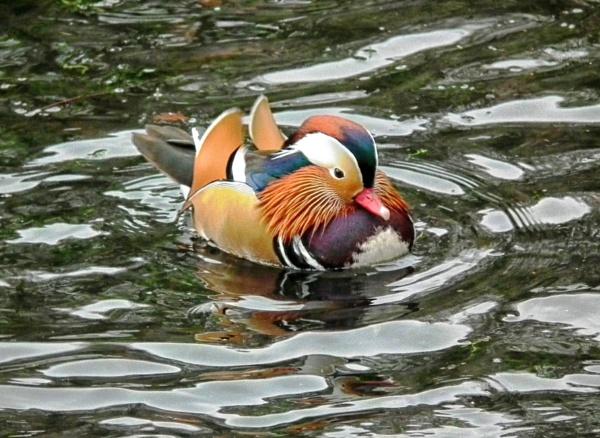 Hallo ducky! by KrazyKA