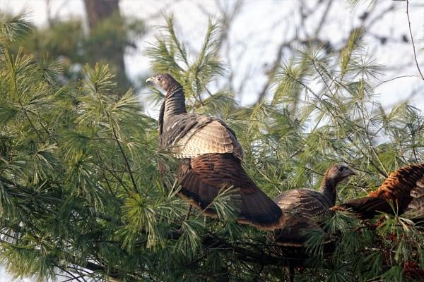 *** Wild Turkeys *** by Spkr51