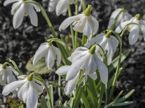 Snowdrops by OverthehillPhil