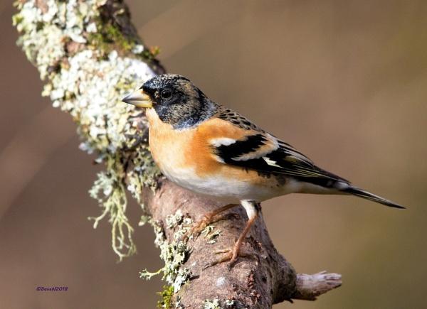 Brambling finch by DaveNewbury