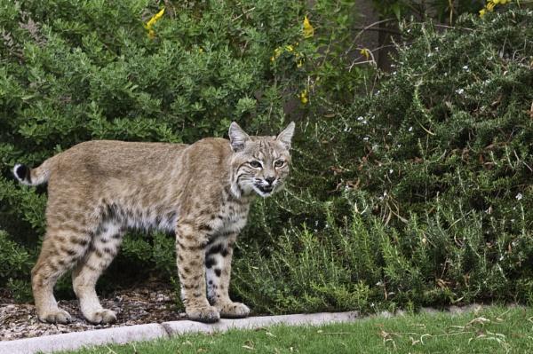 Large male bobcat