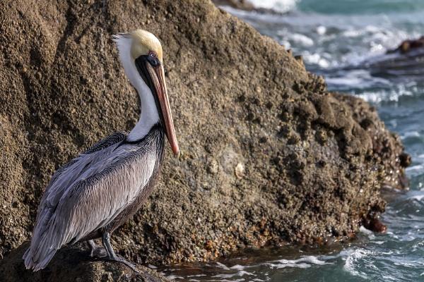 Pelican @ Jupiter Inlet, Florida by DBoardman