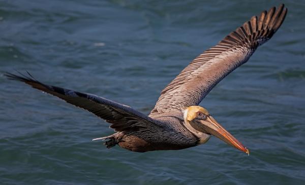 Brown pelican in flight by DBoardman
