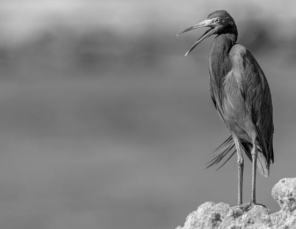 Little Blue Heron by DBoardman