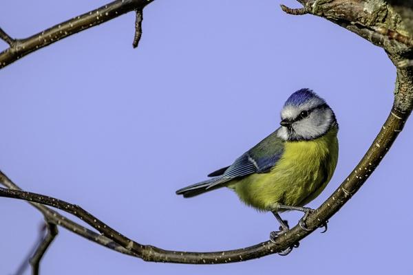 Blue Tit Framed by photographerjoe