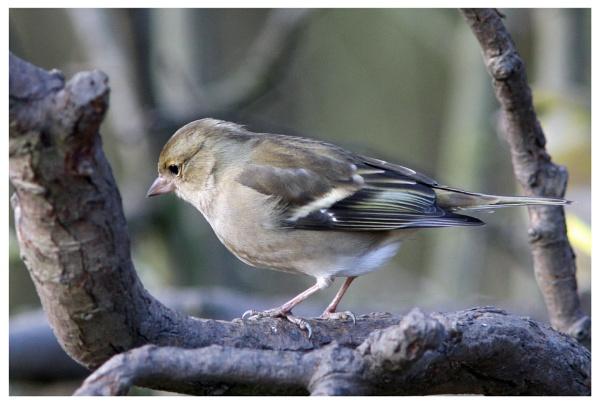 Female chaffinch by davidgibson