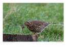 Song Thrush with Snail by running_man