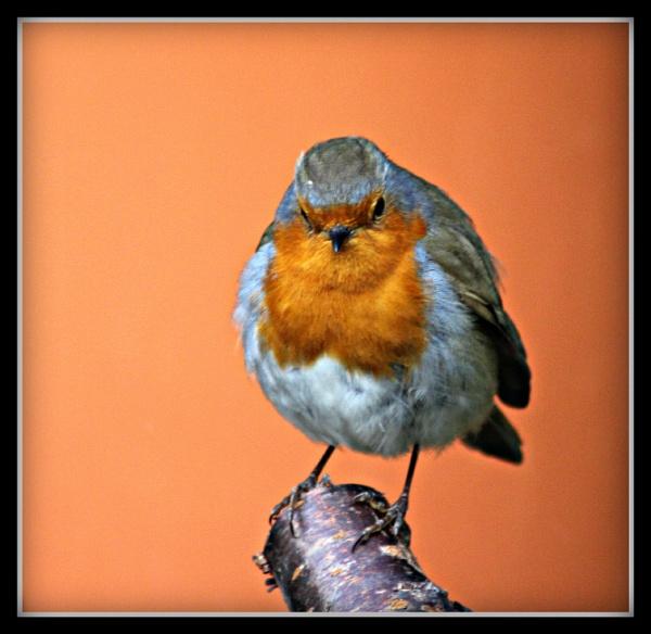 Robust little robin by nemasi