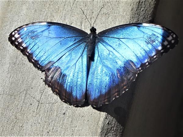 Blue Morph