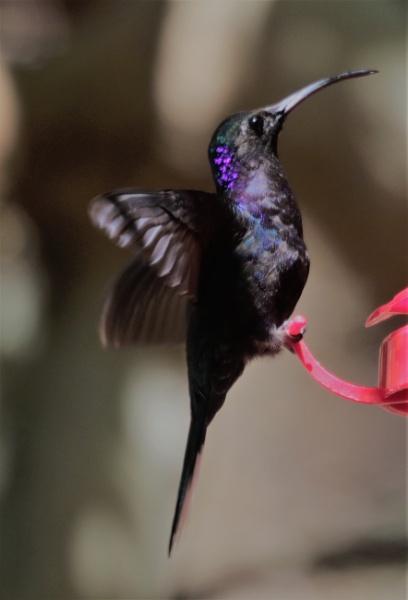 Hummingbird 2 by agednovice