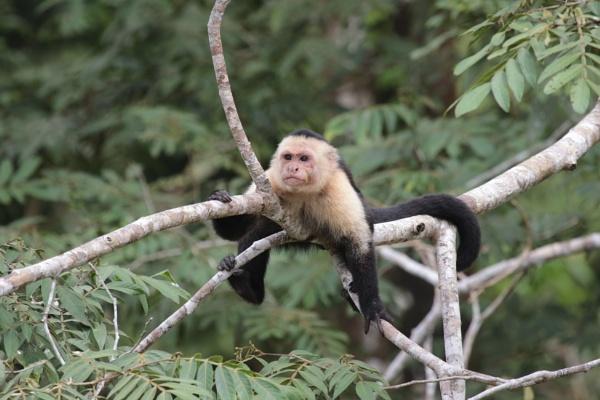 Capuchin Monkey by agednovice