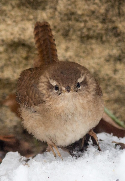 Wren in the snow by oldgreyheron