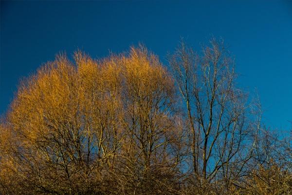 Golden willow by rambler