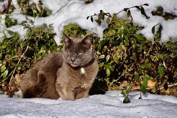 Snow Cat by Mannyfreedman
