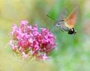Hummingbird hawk-moth by chalkhillblue
