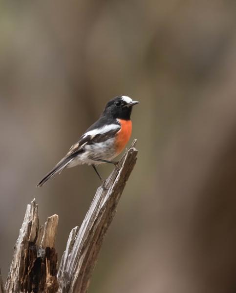 Male Scarlet Robin by boydmace