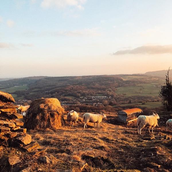 A Sheeps Dinner by Merlin_k