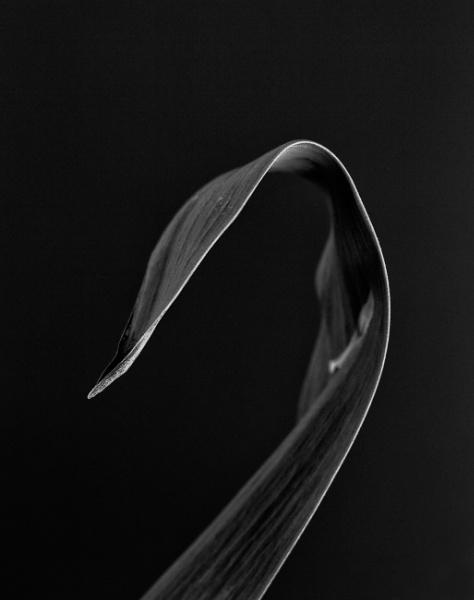 swan by optik