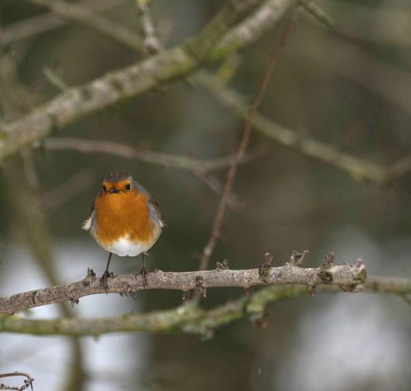 Robin by Gordonsimpson