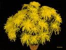 Golden spider Chrysanthemum..2 by debu