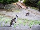 Hogmanay Kangaroo by Irishkate