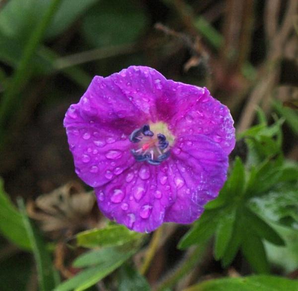 Geranium surviving Winter