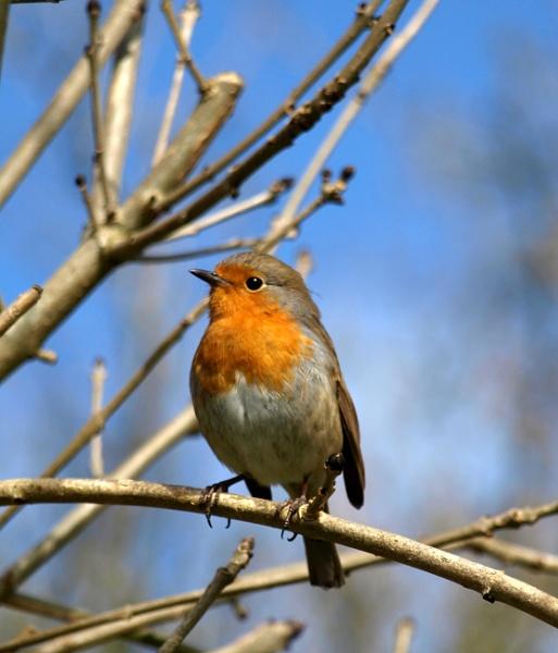 Mr Robin by JuBarney