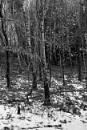 Beech tree in winter by marlin50