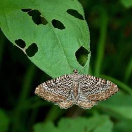 Scallop shell Moth