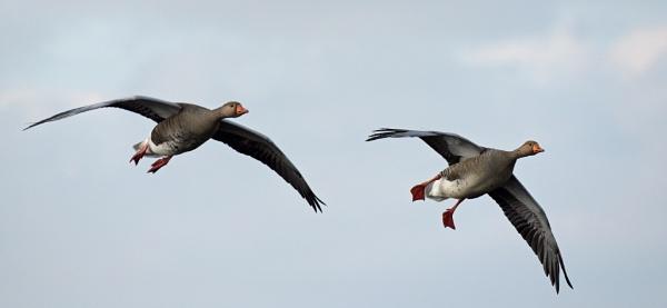 Geese by carper123