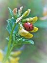 Ladybug by cptdaniel