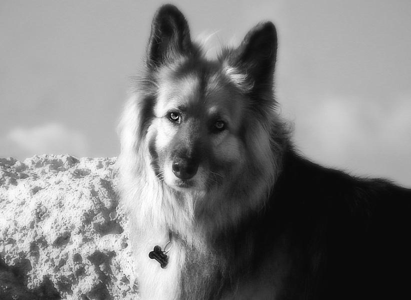 A Belgian x Shepherd
