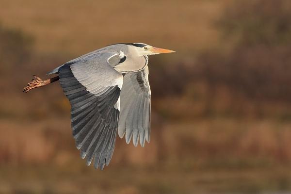 Grey Heron by jm1