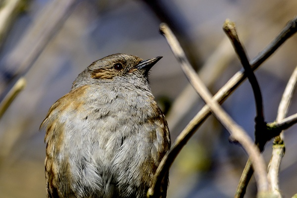 Dunnock by firefly_pete