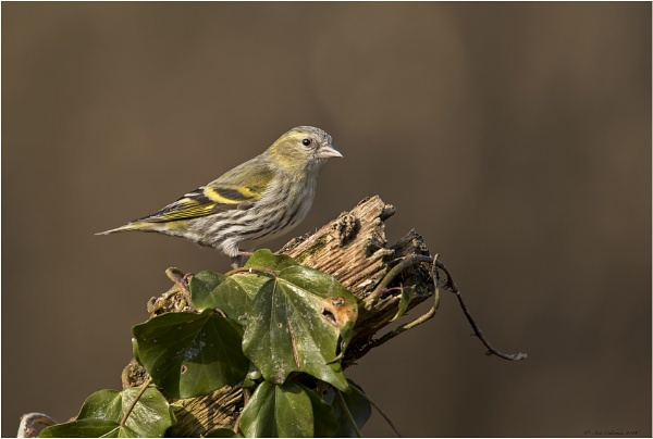 Siskin by ade123