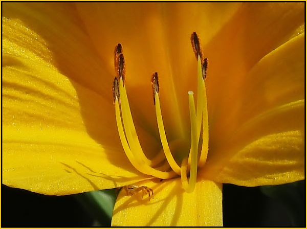 Day lily with tiny Crab spider