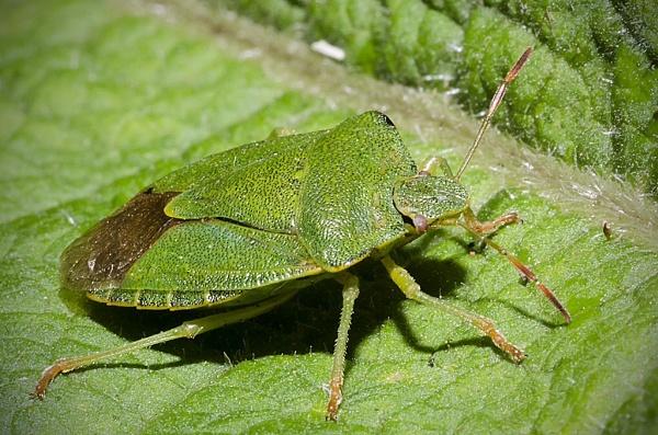 Shield bug by lespaul
