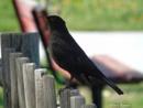 Blackbird by idiabb