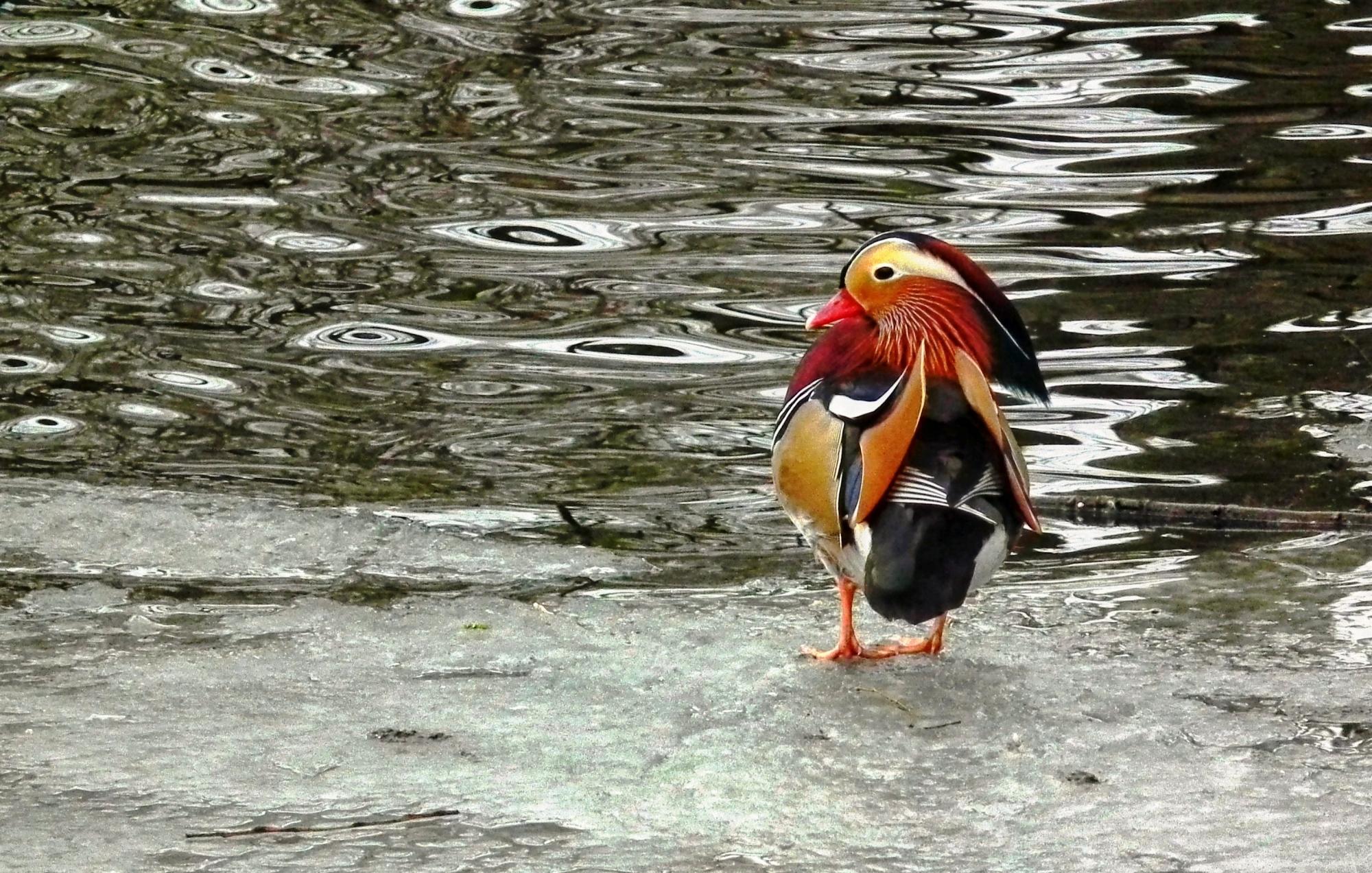 Skating duck