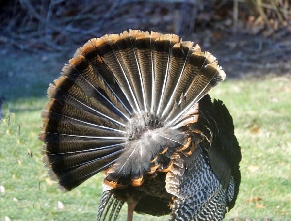 *** Turkey Fan *** by Spkr51