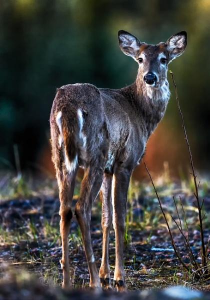White-tailed deer in Läyliäinen by hannukon
