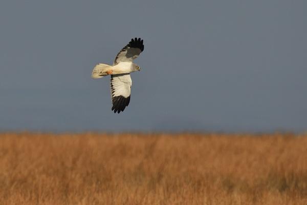 Male Hen Harrier by TomtomW
