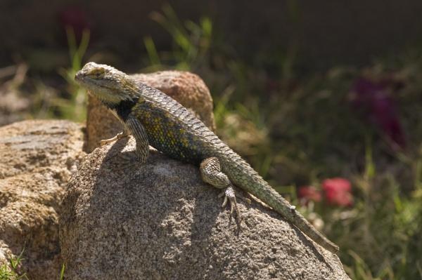 Desert Spiny lizard by makeupmagic