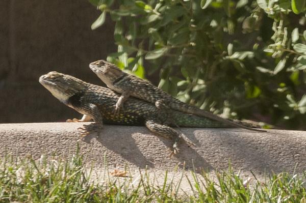 Mating Lizards by makeupmagic