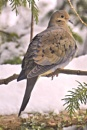 Mourning Dove by Joline