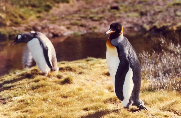 King Penguin by Kako