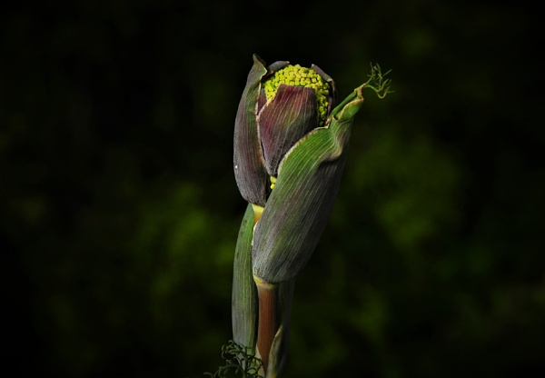 Dandelion Head - Spring is Here by KingArthur