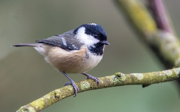 Coal tit - by Mike_Young