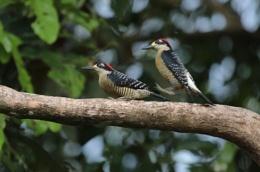 Black-cheeked Woodpeckers